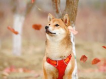 Dogecoin Price, Volume: Should You Trade It With Shiba Inu Crypto Coins?