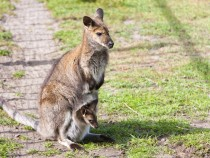 Australia culling over 1900 kangaroo, as part of it annual initiative to protect environment.