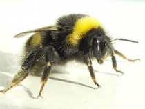 Bees Use Hairs to Sense Electrical Fields From Flowers