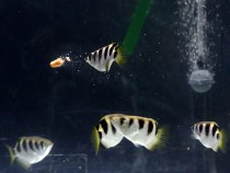 Study Shows Fish Can Recognize Faces