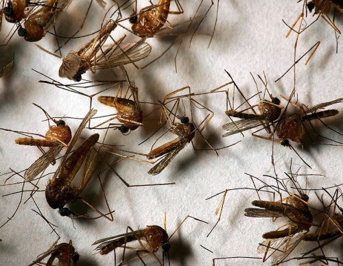 West Nile Virus Mosquitoes Return Early To California