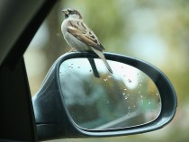 Bird On A Car Mirror
