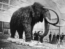 Mammoth Mammal