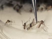 Zika-infected Mosquitoes