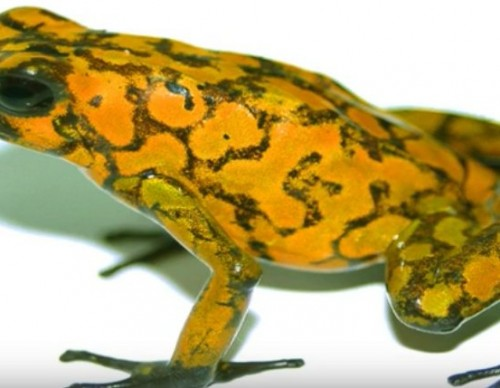 New Ant Species Found In Dead Poisonous Frog