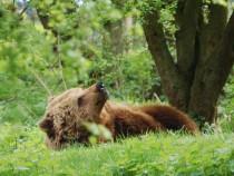 A brown bear similar to M13