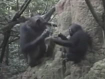 Chimpanzee Mother Teaching Her Young On How To Gather Termites