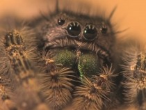 Jumping Spider Are Able To Hear Distant Noises Without Having Eardrums