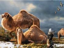 Arctic Camel