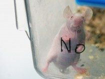 White Rats Used For Gene Therapy Research At The State Key Laboratory of Biotherapy