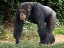 Chimps With Bonobo DNA Hint Ancient Affair Between The Two