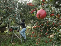 Apple Harvest Underway In Brandenburg
