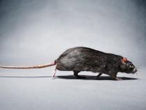 New York City Sterilizing Female Rats
