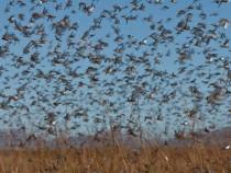 Madagascar Locusts