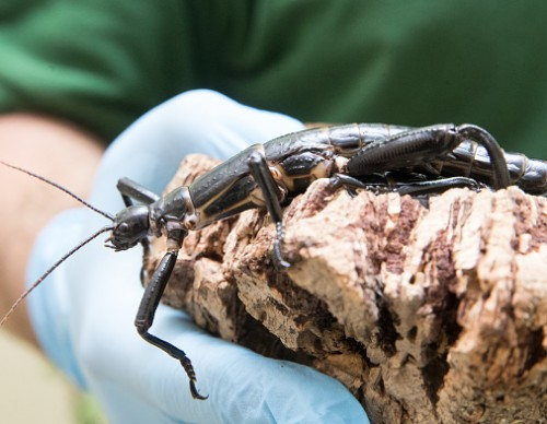 San Diego Zoo Breeds The Rarest Of All Insects To Have Been Discovered