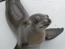 Ronan The Sea Lion