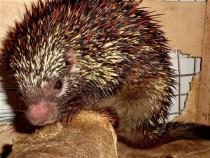 Coendou speratus Porcupine