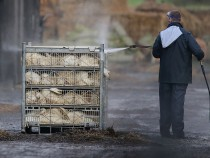 South Korea Raises Bird Flu Alert Due To Additional Cases