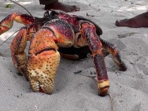 Keep Safe! Scientists Confirm: Coconut Crabs Have A Killer Clamp