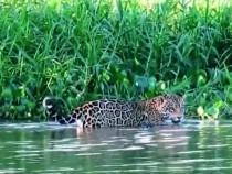 Conservation Efforts On For Jaguar To Survive