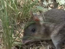 Marsupials Survived Climate Change But Are Now Endangered