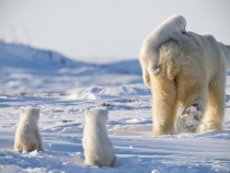 Number Of Polar Bears To Drop By A Third Due To Sea Ice Melts