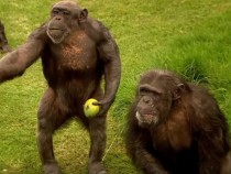 Differences In Thinking Limits Monkeys And Apes From Speaking