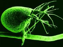 Bladderwort Plant