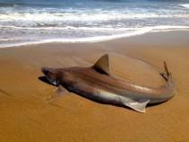 Rehoboth Beach Shark