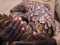 Pangolins Are The Most Trafficked Animal In The World