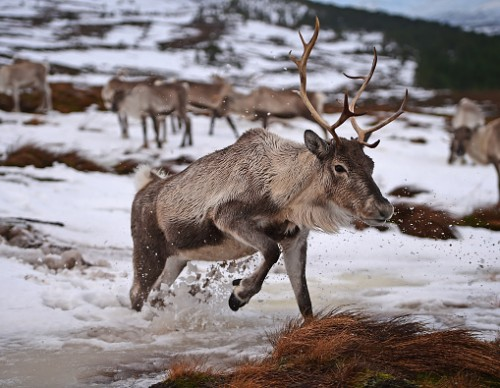 Are Reindeers The Top Secret To Fight Climate Change?