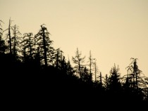 Beetles Bring Devastation And Extreme Fire Danger To Southern California Forests