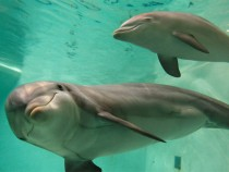 Dolphin - mother and baby