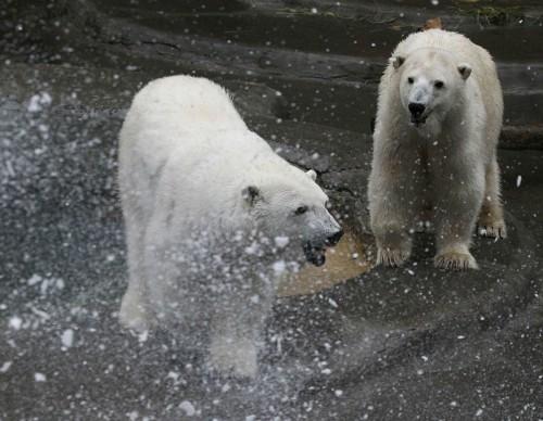 The San Francisco Zoo Celebrates Christmas With The Polar Bears