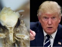Tiny Moth With Weird Hair Named After Donald Trump