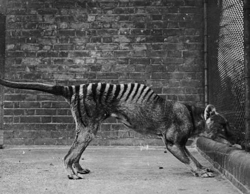 Tasmanian Wolf