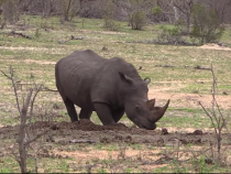 White Rhino urinating and defecating on a dung midden to mark territory