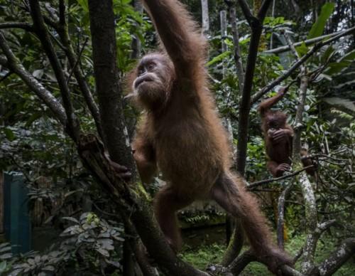 Indonesia's Orangutans Battle With Deforestation
