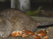 Rare Rodent Carries Seoul Virus, Infects 8 People In The US