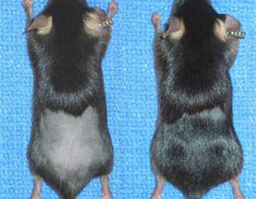 Protein Discovery Leads To New Hair Growth In Mice