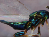 Crypt-Keeper Wasp': Ederus Set, The Insidious Zombie Wasp With A Creepy Ability