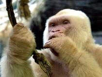 Snowflake, the albino gorilla