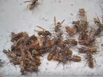 Paper Wasps' Behavior Highly Comparable To Human Behavior In Work Environment