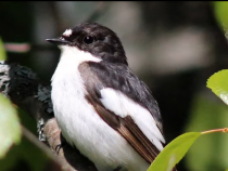 Pied Flycatcher ~ European Pied Flycatcher Bird Call BIRDSONG