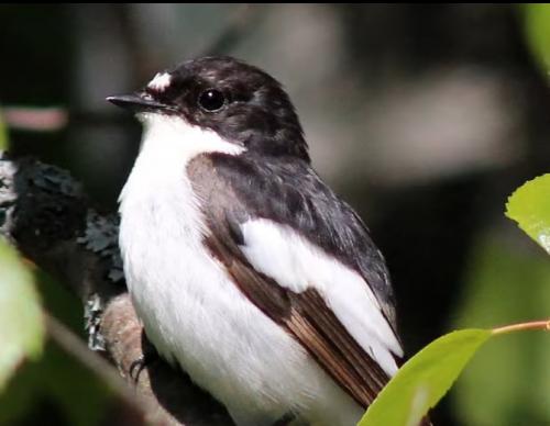 Pied Flycatcher ~ European Pied Flycatcher Bird Call BIRDSONG