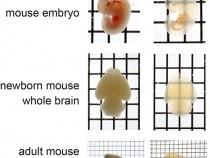 Transparent tissue