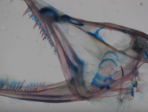 Razor-Sharp Teeth And A Mouth That Opens Wide Allows The Dragonfish To Survive