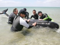 Rescuers help save the only whale still alive that