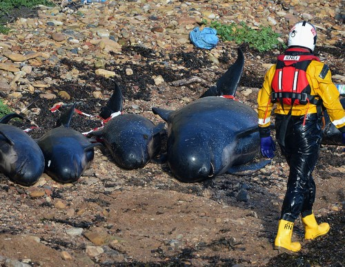 Mass Stranding of Pilot Whales - Anstruther