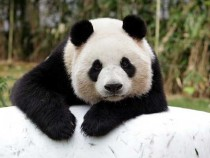 Everland Amusement Park Introduce Their New Panda Couple